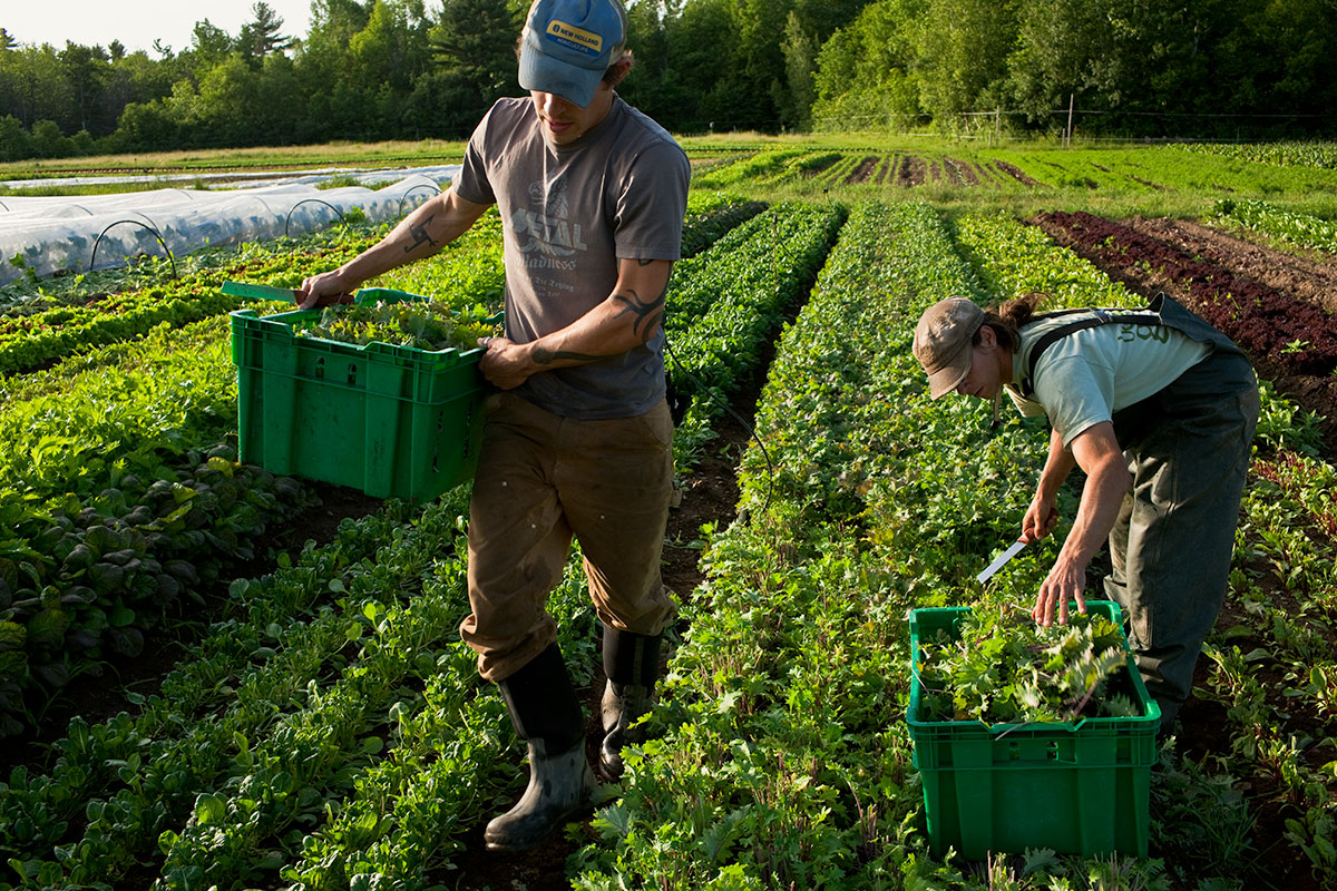 Lucas and Ian, Harvest. Fledging Crow Vegetables. Keeseville, NY.
