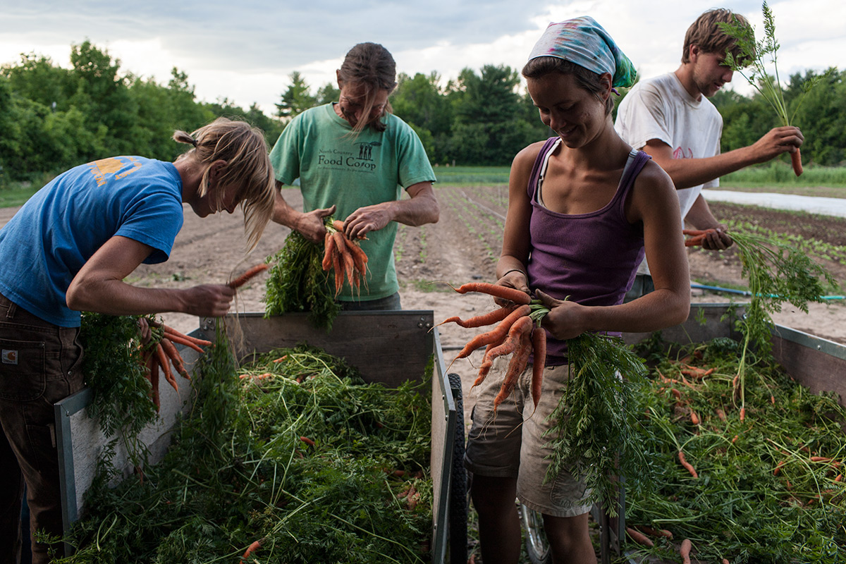 Sorting Carrots. Fledging Crow Vegetables. Keeseville, NY.